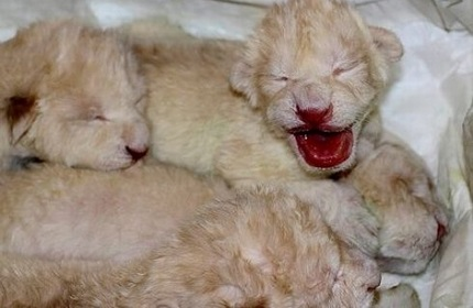 تولد چهار توله شیر سفید نادر در باغ وحش تفلیس