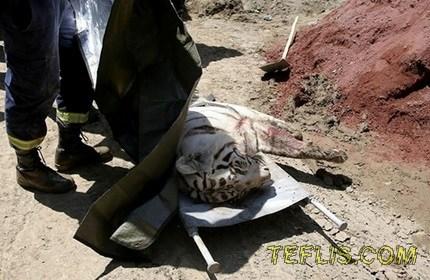 تصویر ببری که موجب مرگ یکی از شهروندان تفلیس شد