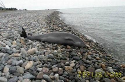 دلفین های مرده در سواحل غربی گرجستان