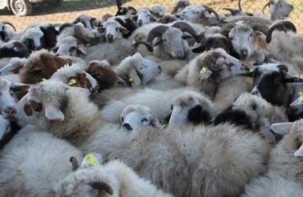 صادرات یک میلیون دلاری گوسفند زنده از گرجستان به قطر و عربستان